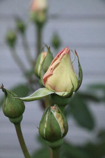 rose-110509-4.jpg