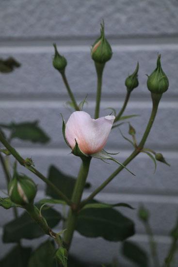 rose-110509-7.jpg