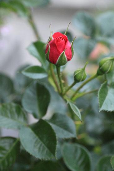 rose-110509-8.jpg