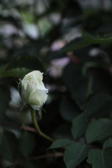 rose-110509-9.jpg