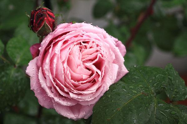 rose-110513-1.jpg