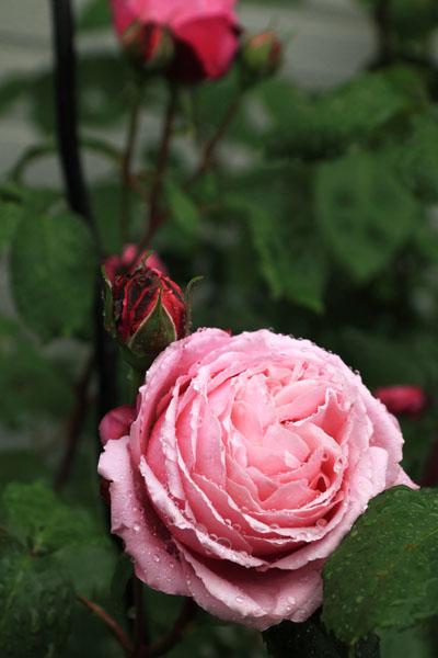 rose-110513-2.jpg