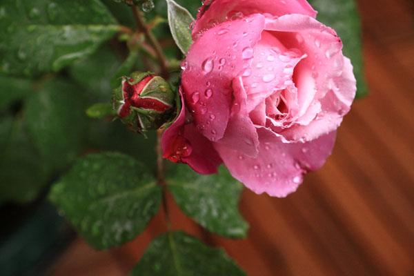 rose-110513-3.jpg