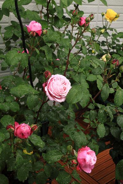 rose-110513-4.jpg