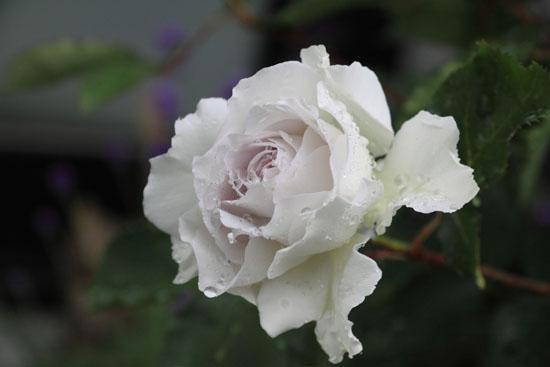 rose-110513-5.jpg
