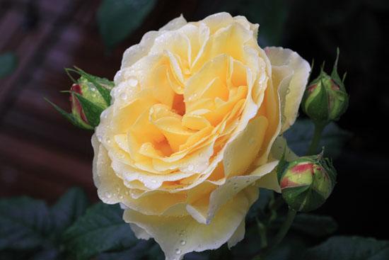 rose-110513-6.jpg