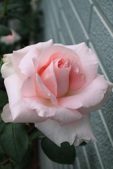 rose-110513-7.jpg