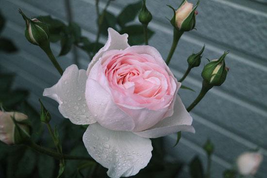 rose-110513-8.jpg
