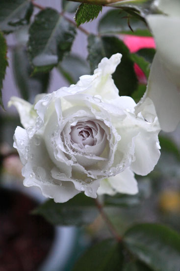 rose-110513-9.jpg