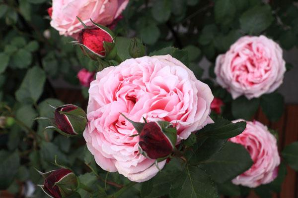 rose-110514-1.jpg