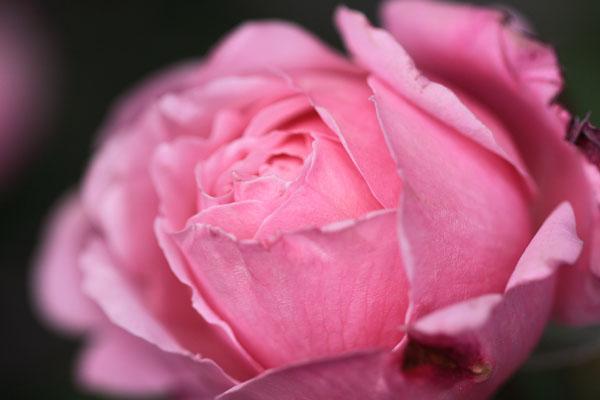 rose-110514-2.jpg