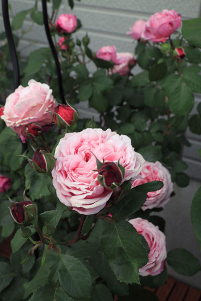 rose-110514-3.jpg