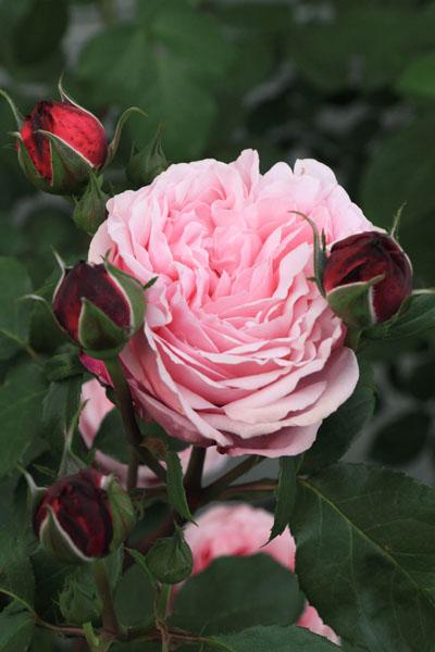 rose-110514-4.jpg