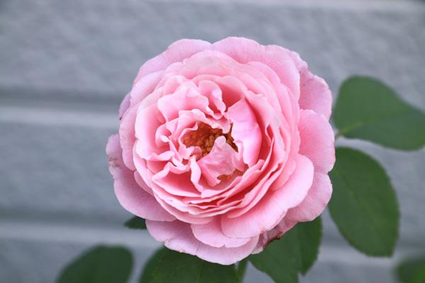 rose-110702-1.jpg