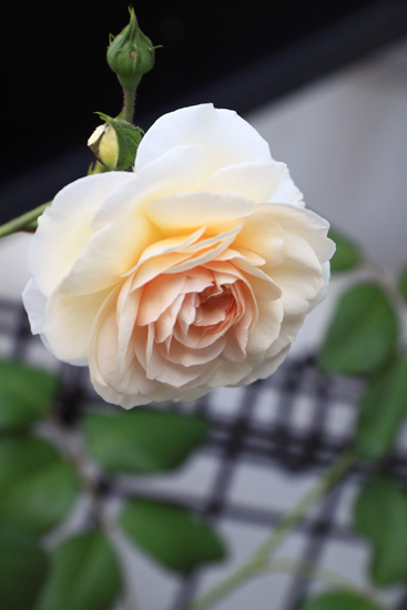 rose-110702-2.jpg