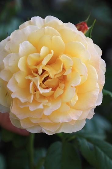 rose-110702-4.jpg