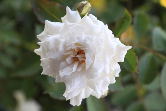 rose-110702-5.jpg