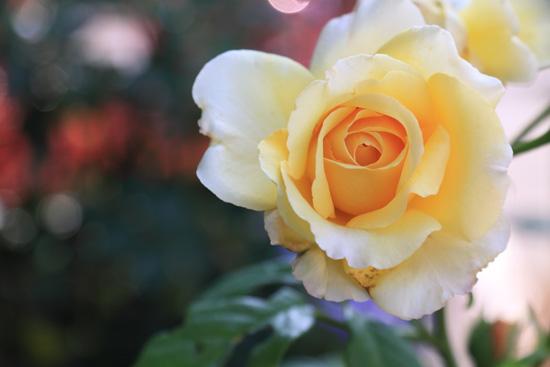 rose-110702-6.jpg