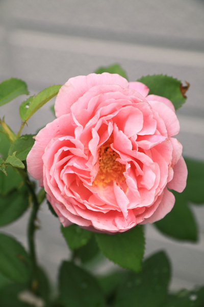 rose-110705-1.jpg