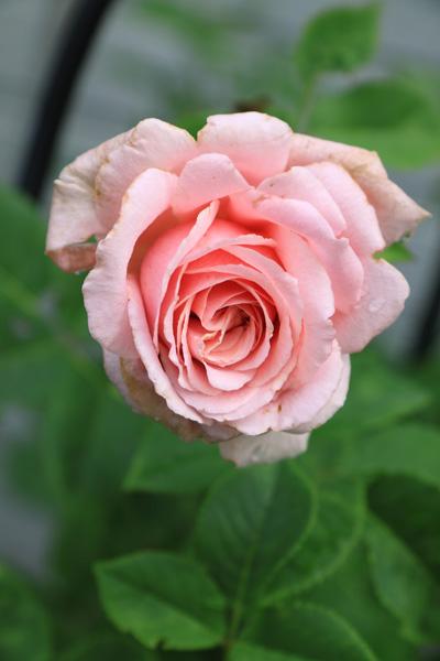 rose-110705-2.jpg