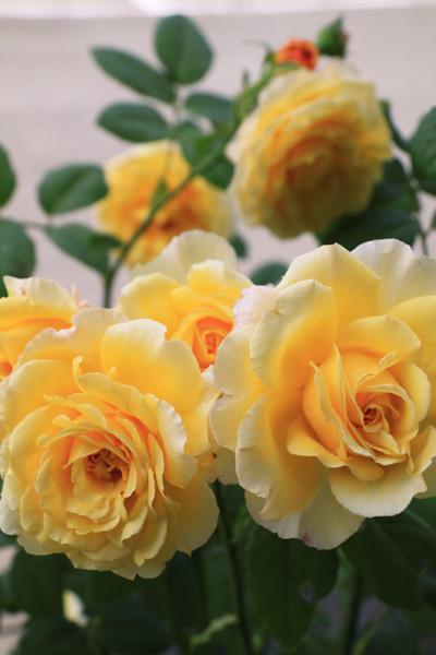 rose-110705-3.jpg