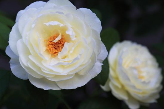 rose-110720-2.jpg