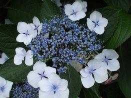 がく紫陽花01