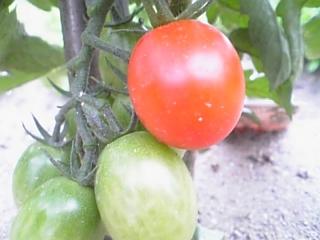 トマトその1