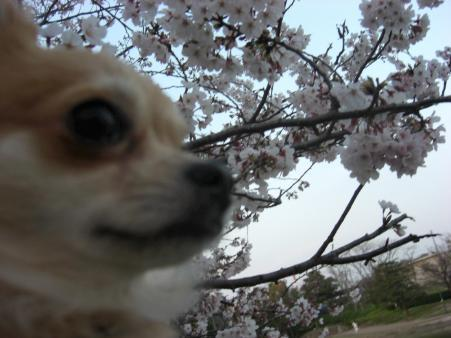 改めて「マルと桜」