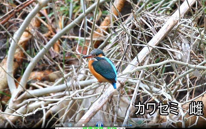 20100411 kawasemi