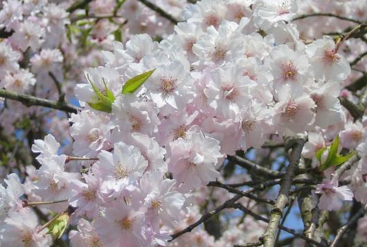 2009年4月12日の桜
