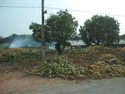 ココナッツ畑