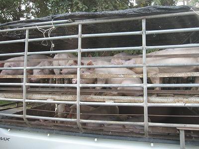 子豚のトラック