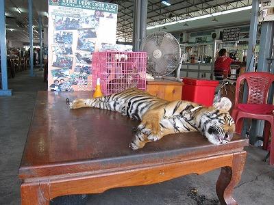 土産物屋にいたトラ