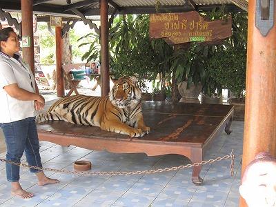 記念写真用の虎