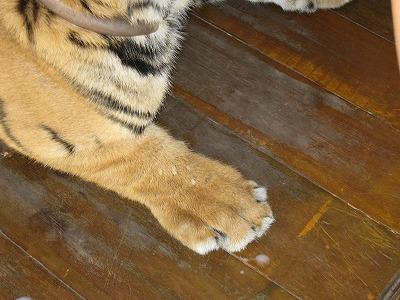 赤ちゃんトラの足