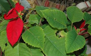 ポインセチアの紅葉