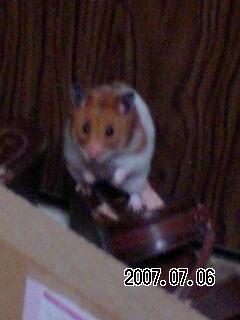 hamster 091