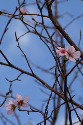 1011-2秋の桜