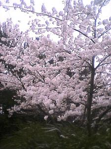 060416桜