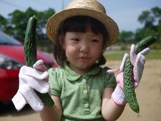きゅうり収穫2