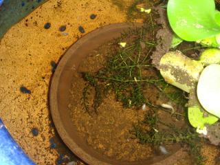 火鉢の中に植木鉢を入れた
