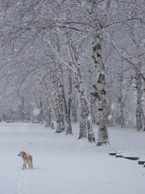 4・29雪の白樺林DSCN3057