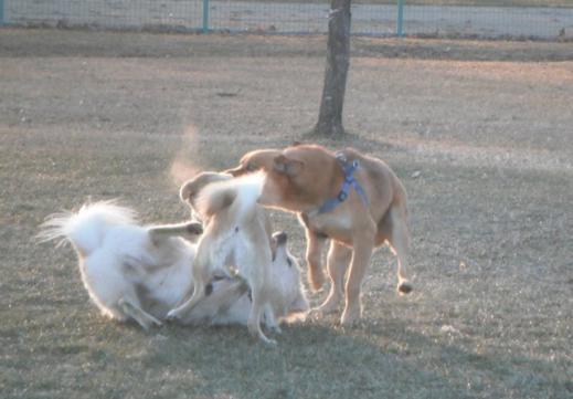 D犬相撲3匹SCF3026