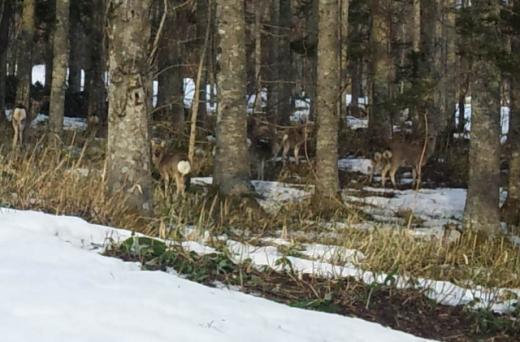 広尾の鹿2