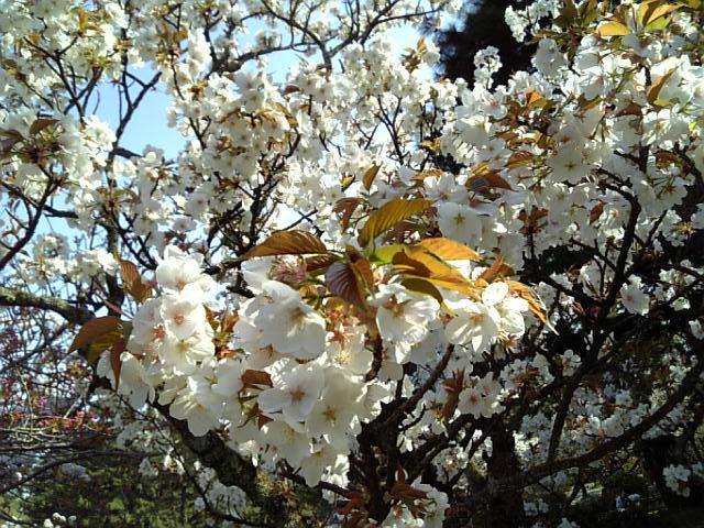 京都御苑20090411 5
