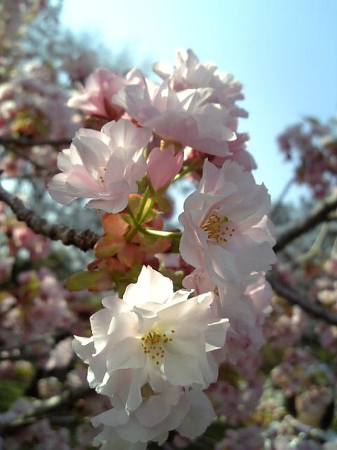 京都御苑20090411 10