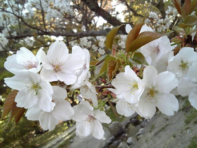 京都御苑20090411 13