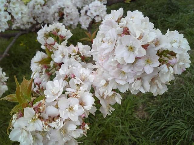 京都御苑20090411 14