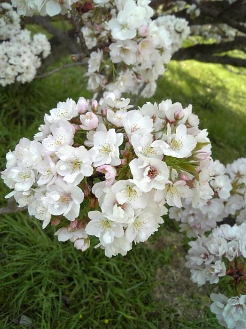 京都御苑20090411 15